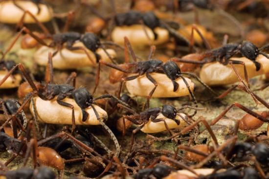原标题:动物壮观大迁徙:大自然最独特景观(图) 动物壮观大迁徙:大自然最独特景观(图) 来源:光明网 我有话说  军蚁的迁徙几乎是出自一种令人不可思议的本能,迁徙大军数量多达50到200万,行动整齐协调,仿佛是一个单细胞生物体。