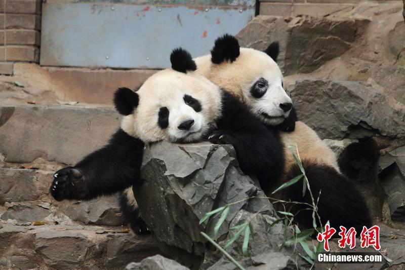 杭州动物园大熊猫黑眼圈变白