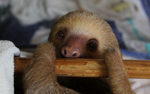 中国著名的动物树懒