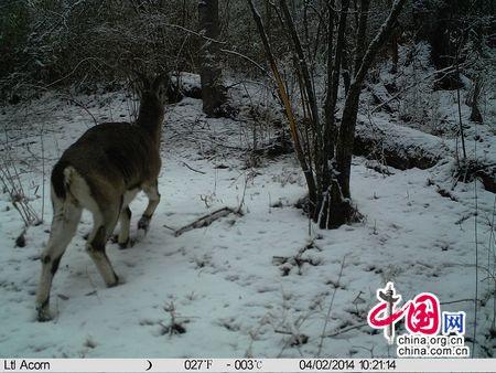 九寨珍稀动物羚羊图片