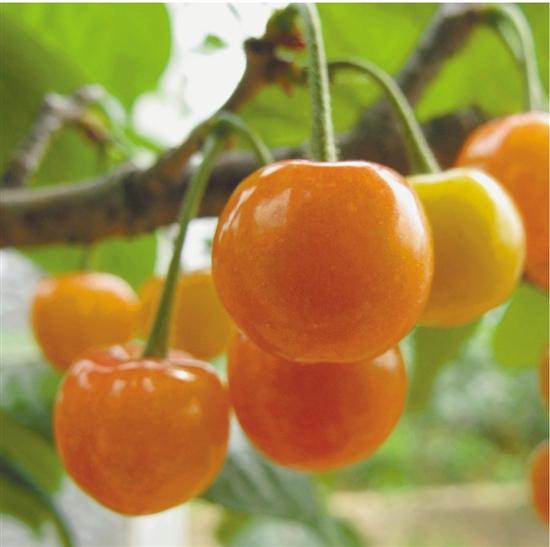 本地樱桃婀娜登场 一棵果树只有5天采摘期