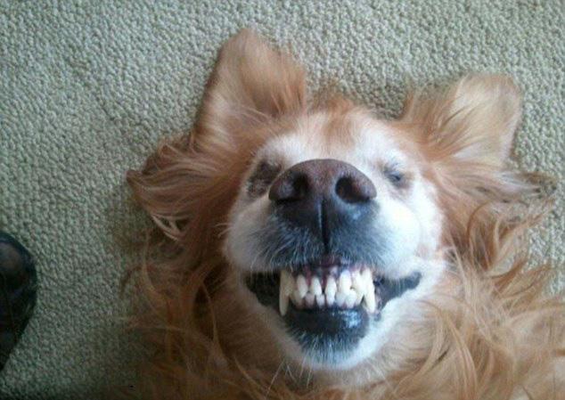 可是这组龇牙咧嘴的狗脸绝对是动物趣图界的奇葩,绝对能让你爆笑不止!