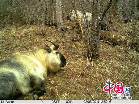 九寨沟红外相机冬季监测