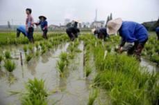 秀洲:科學育種 精耕細作 水稻品種培育基地
