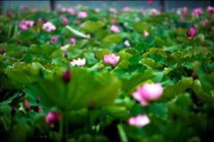 秀洲區王江涇鎮:濕地農業 荷花爭艷