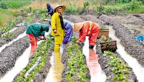 秀洲菜農 抓住墑情 冒雨種菜