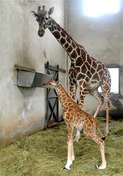 苏州动物园喜添长颈鹿宝宝