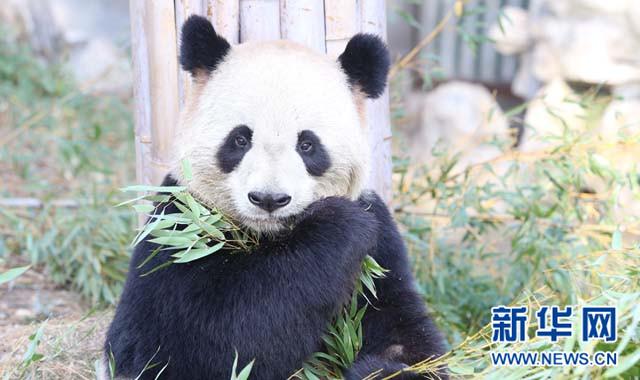 """安吉""""熊猫家族""""呆萌贺新年"""