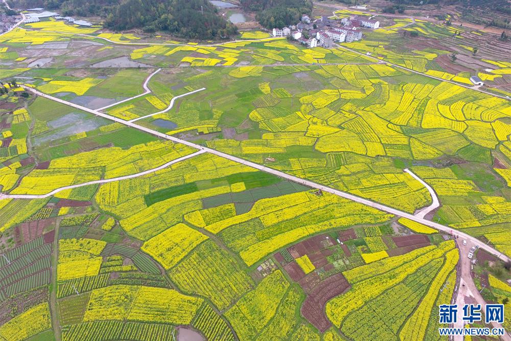 浙江臺州:農旅融合 油菜花海打造詩意仙居