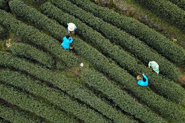 杭州:西湖龍井採摘忙 産量平穩品質提升