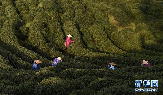 龙井村采茶忙