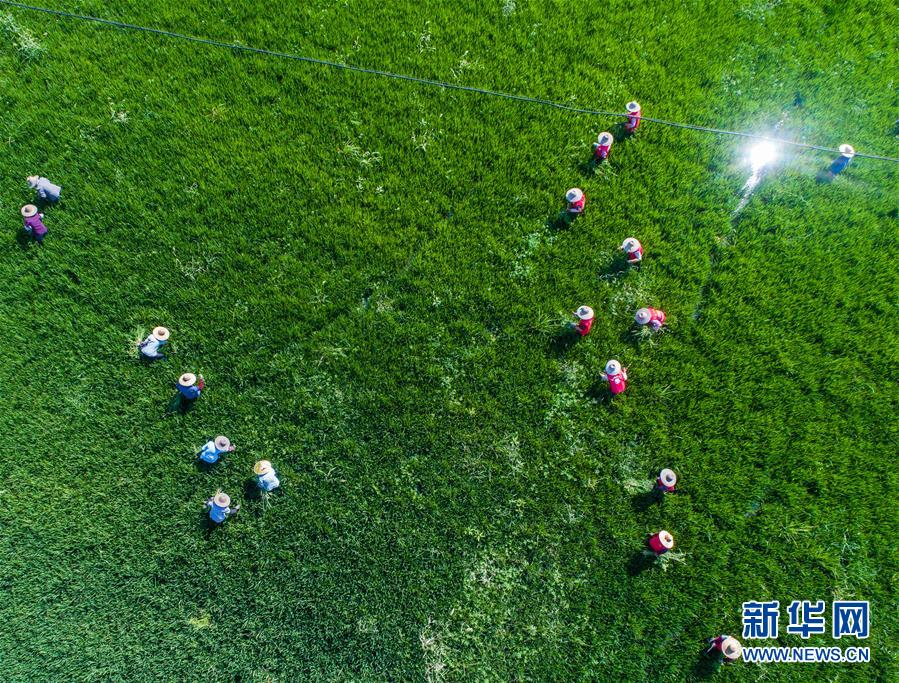 浙江湖州:龟鳖养殖棚变身生态水稻田