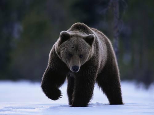 遂昌野外首次监测到黑熊