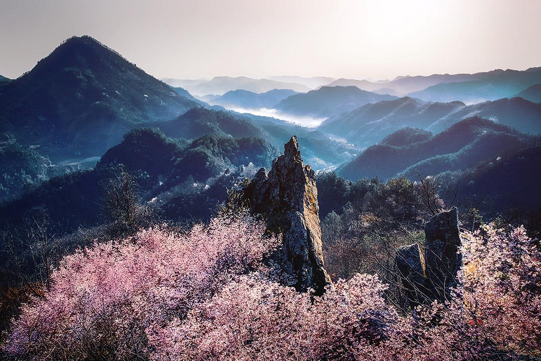 春日寻芳:杭州富阳千亩野樱花绽放