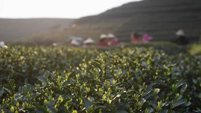 杭州西湖龙井春茶开采