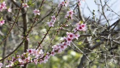 浙江杭州:阳春三月,皋亭观桃