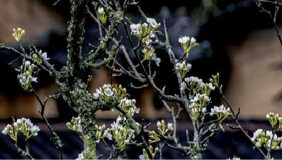 一枝梨花春带雨