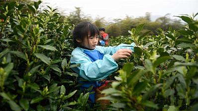 浙江湖州:儿童体验采春茶