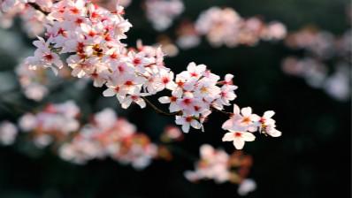 《题都城南庄》:人面桃花相映红