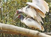 杭州野生动物世界成功繁育 3只国宝级的朱鹮宝宝