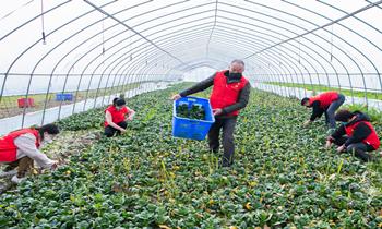 浙江湖州:党员志愿者助农采收