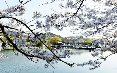 西湖樱花绽放