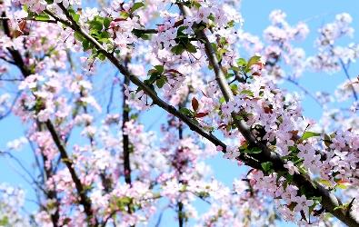 海棠绽放胭脂色 争艳斑斓春光中