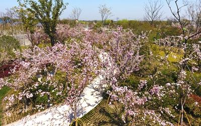 春色滿園關不住 南潯海棠開滿枝
