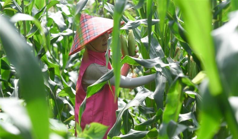 浙江德清:志願服務 收獲玉米