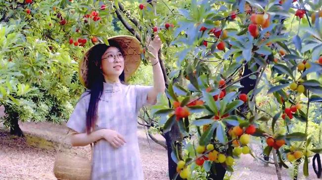 又是一年楊梅季 漫山枝頭是紅果